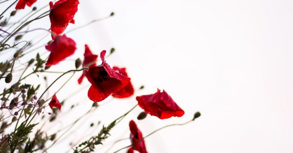 red flowers on a white background